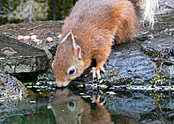 Environment - Red Squirrel